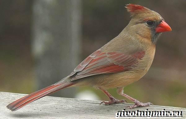 kardinal-ptica-obraz-zhizni-i-sreda-obitaniya-pticy-kardinal-2.jpg