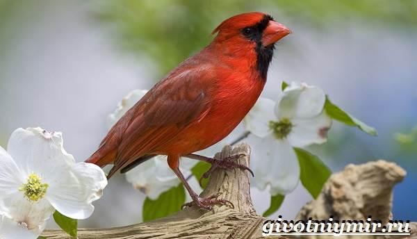 kardinal-ptica-obraz-zhizni-i-sreda-obitaniya-pticy-kardinal-4.jpg
