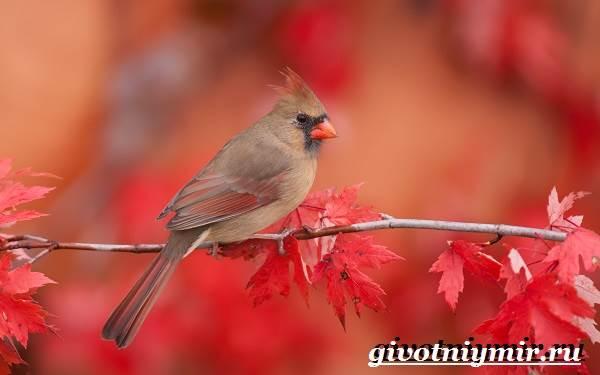 kardinal-ptica-obraz-zhizni-i-sreda-obitaniya-pticy-kardinal-5.jpg