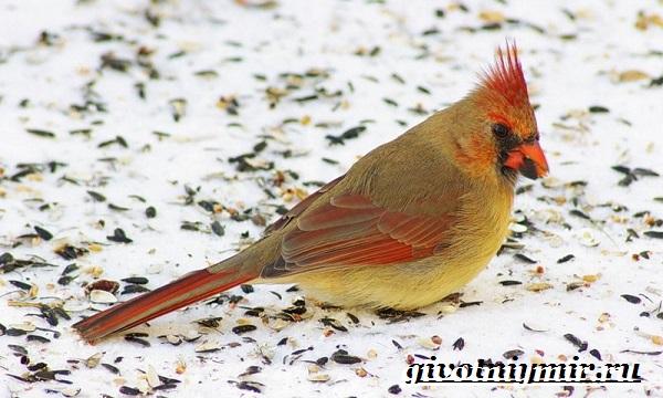 kardinal-ptica-obraz-zhizni-i-sreda-obitaniya-pticy-kardinal-8.jpg
