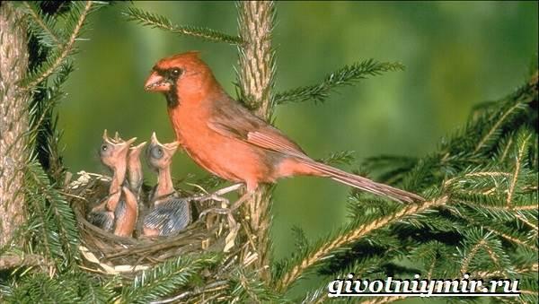kardinal-ptica-obraz-zhizni-i-sreda-obitaniya-pticy-kardinal-7.jpg