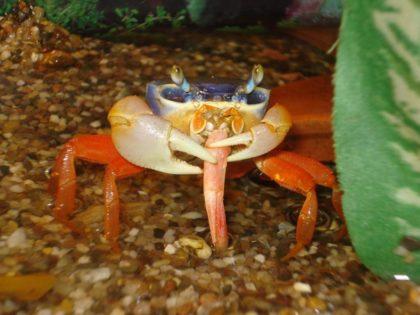 raduzhnii-crab10-420x315.jpg