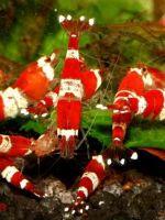 akvariumnye_krevetki.jpg