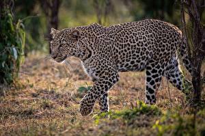 Leopards_589618_600x399.jpg