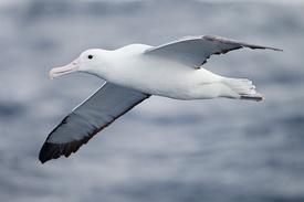 275px-Diomedea_epomophora_in_flight_5_-_SE_Tasmania.jpg