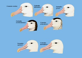 im274-Diomedea_%28great_albatross%29_heads.jpg