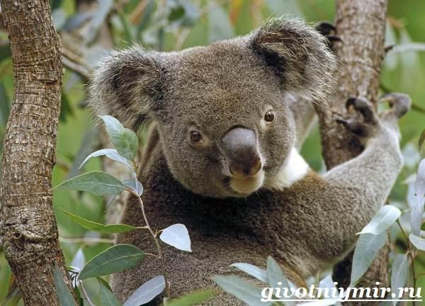 koala-opisanie-i-osobennosti-koaly-7.jpg
