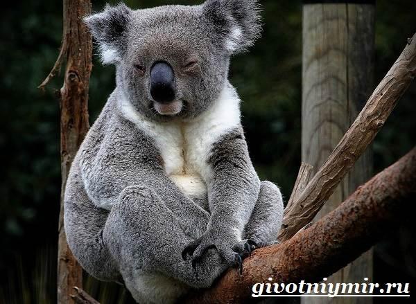 koala-opisanie-i-osobennosti-koaly-2.jpg