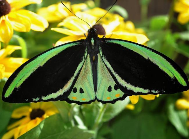 22_ornithoptera-richmondia-1024x754.jpg