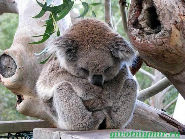 koala-opisanie-i-osobennosti-koaly-3.jpg