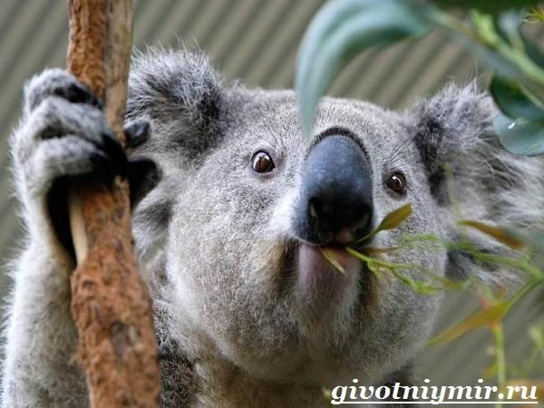 koala-opisanie-i-osobennosti-koaly-4.jpg