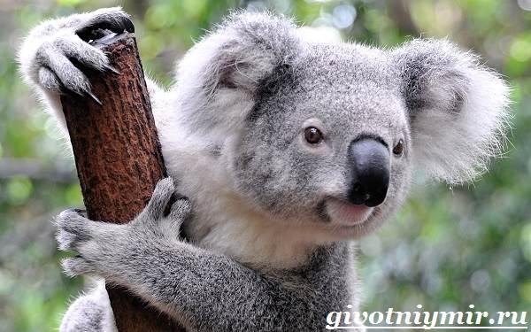 koala-opisanie-i-osobennosti-koaly-5.jpg
