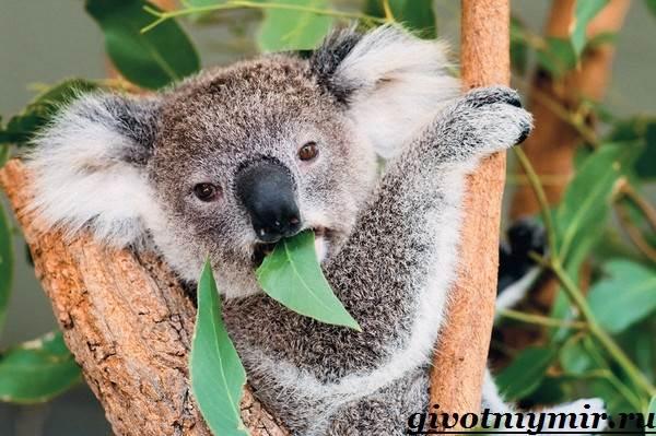 koala-opisanie-i-osobennosti-koaly-6.jpg