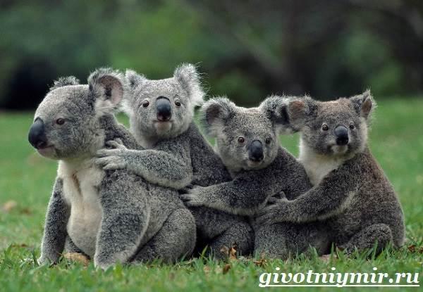 koala-opisanie-i-osobennosti-koaly-9.jpg