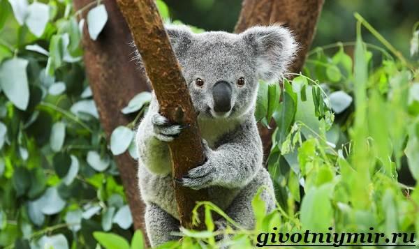 koala-opisanie-i-osobennosti-koaly-1.jpg