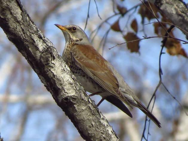 ptica-belobrovik-v-lesu.jpg