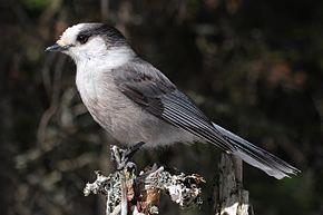 290px-Perisoreus_canadensis_mercier2.jpg