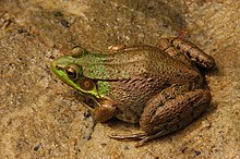 220px-Green_Frog_Rana_clamitans_Facing_Left_3008px.jpg
