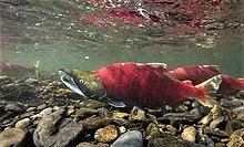 220px-Sockeye_salmon_facing_left.jpg