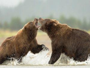 Драка медведей-300x225.jpg