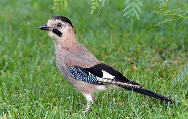 sojka-ptica-opisanie-osobennosti-vidy-i-sreda-obitaniya-pticy-sojki-1.jpg
