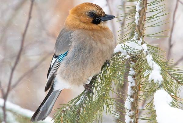 sojka-ptica-opisanie-osobennosti-vidy-i-sreda-obitaniya-pticy-sojki-2.jpg