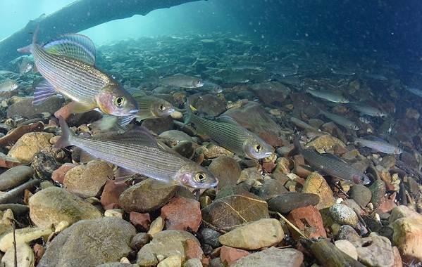 ryby-bajkala-opisaniya-nazvaniya-i-osobennosti-ryb-bajkala-1.jpg