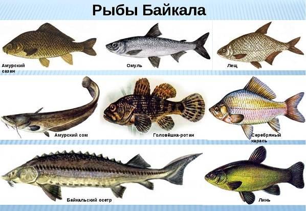 ryby-bajkala-opisaniya-nazvaniya-i-osobennosti-ryb-bajkala-2.jpg