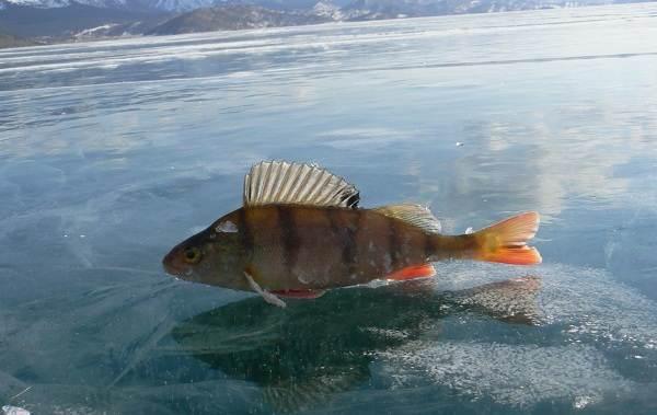 ryby-bajkala-opisaniya-nazvaniya-i-osobennosti-ryb-bajkala-3.jpg