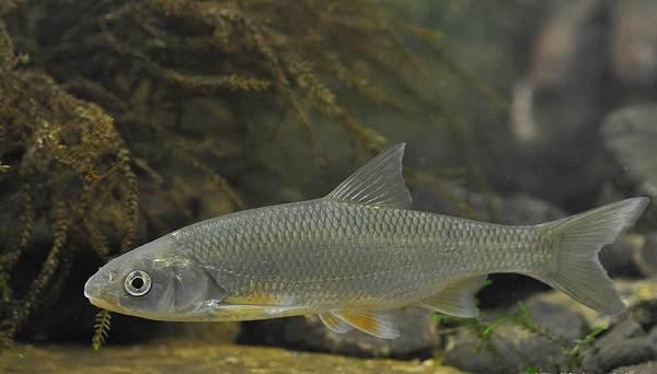 ryby-bajkala-opisaniya-nazvaniya-i-osobennosti-ryb-bajkala-5.jpg
