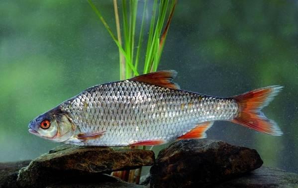 ryby-bajkala-opisaniya-nazvaniya-i-osobennosti-ryb-bajkala-9.jpg