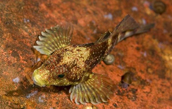 ryby-bajkala-opisaniya-nazvaniya-i-osobennosti-ryb-bajkala-10.jpg