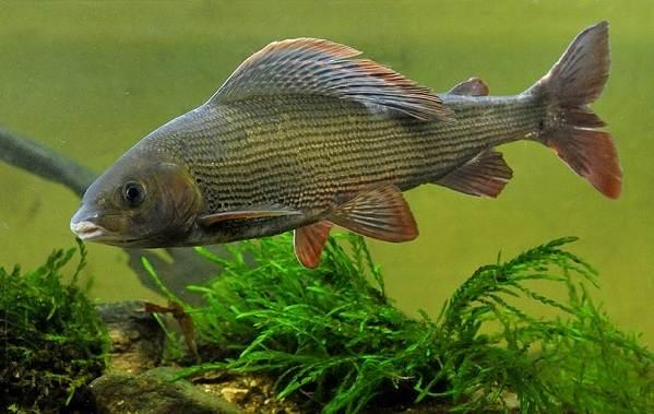 ryby-bajkala-opisaniya-nazvaniya-i-osobennosti-ryb-bajkala-11.jpg