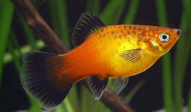 04-2.Platy-Moonfish-e1574675834424-640x378.jpg