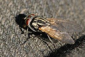 275px-Musca.domestica.female.jpg