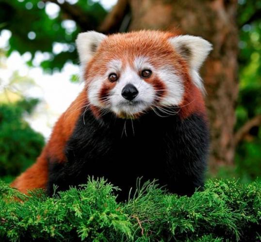 malaja-panda-jeto-enot-ili-medved-sweetpanda.ru-007-1024x950.jpg