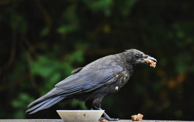 Ворон ест из тарелки