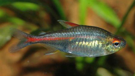 tetra-opisanie-vidy-i-soderzhanie-akvariumnyh-ryb.jpg