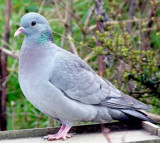 stock-dove-2.jpg