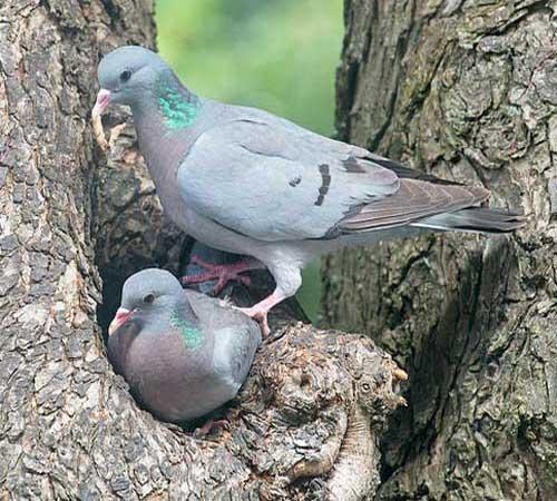 stock-dove-3.jpg