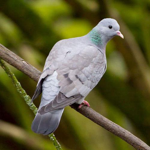 stock-dove-4.jpg