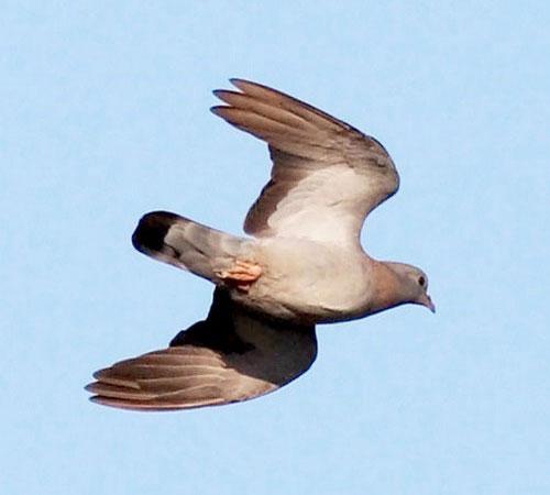 stock-dove-5.jpg