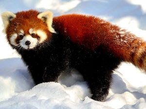 red-panda-ultra-hd-wallpaper-1-2048x1152-5910ca7fd1808-300x225.jpg