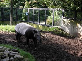 tapirus-indicus_small_01.jpg