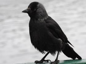 corvus-monedula_small_01.jpg