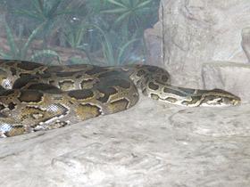 python-molurus_small_01.jpg