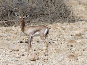 gazella-gazella_small_01.jpg