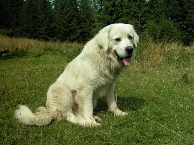 cute-polish-tatra-sheepdog-wallpaper.jpeg