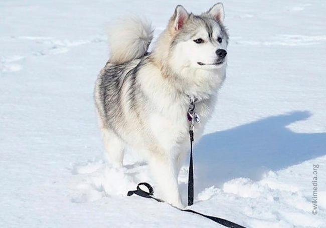 9dog_breed_Pomsky.jpg