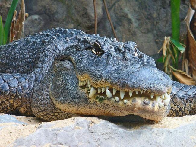 missisipskij-alligator-on-zhe-shhuchij-alligator-animal-reader.-ru-.-002-1024x768.jpg